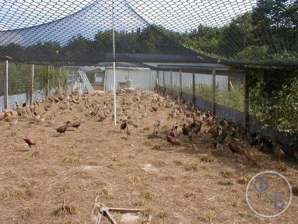 Выращивание фазанов в промышленных масштабах