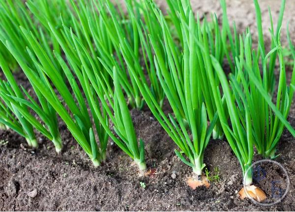 Выращивание зеленого лука