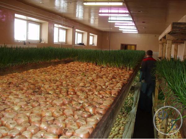 Выращивание лука в промышленном бизнесе